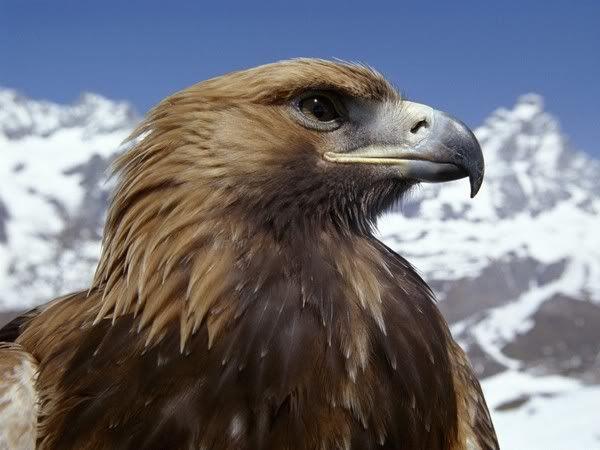 Foto nga bota e kafsheve dhe zogjve  - Faqe 2 Fond-ecran-profil-d--aigle2