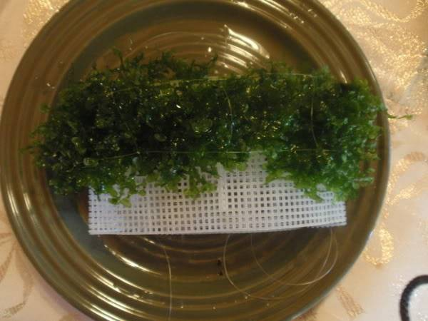 Planted Ledge AttachingTheSuesswassertang