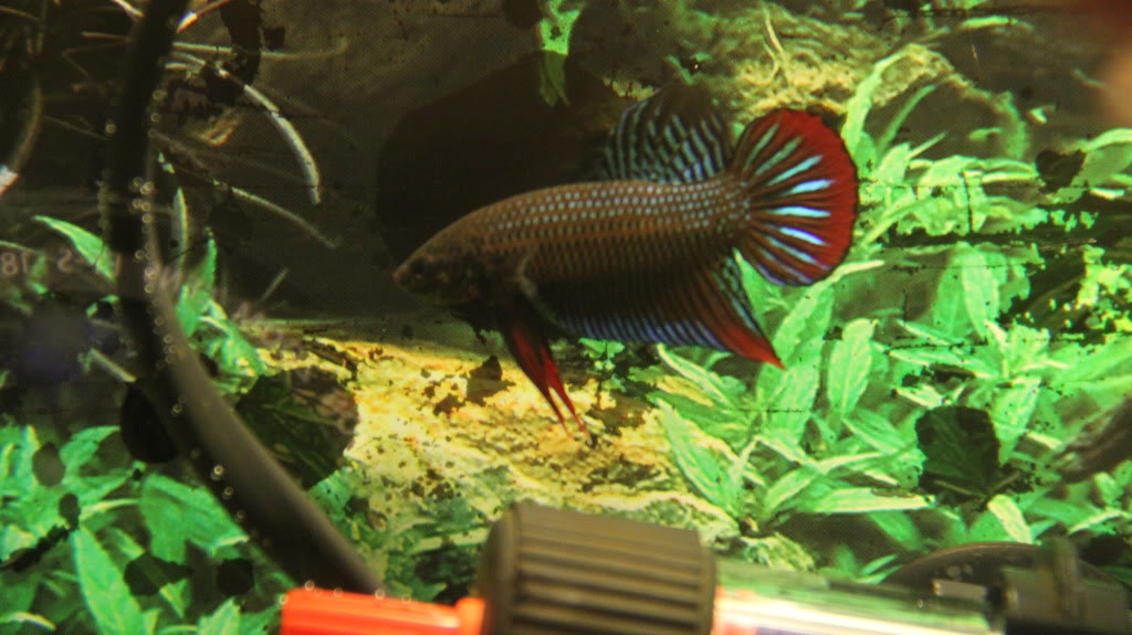 New Wild Type Species (Betta Siamorientalis)  IMG_0610