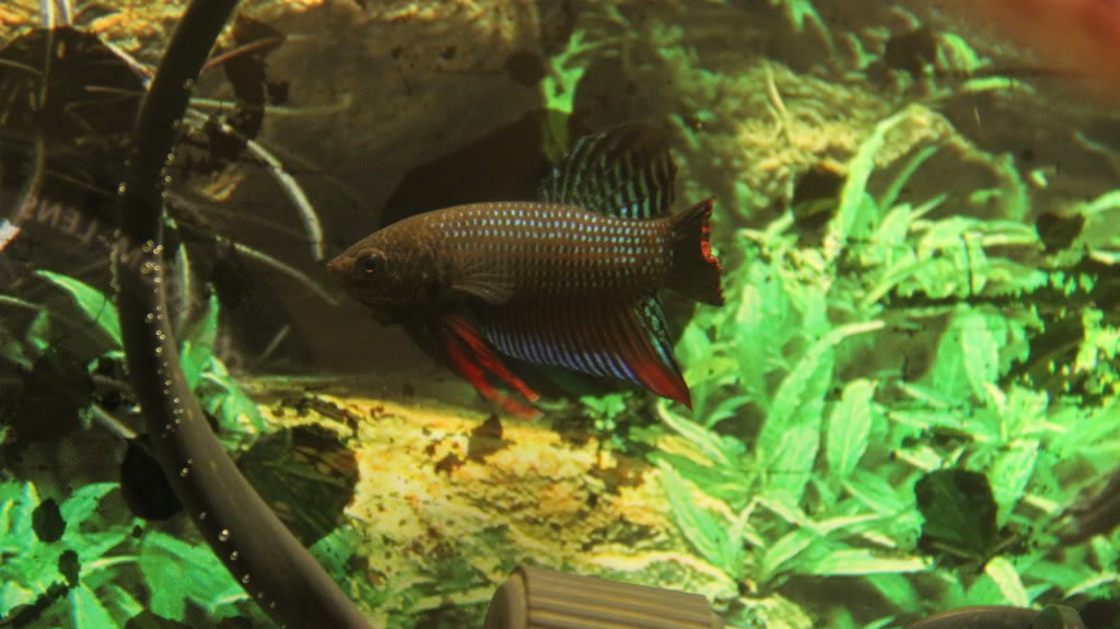 New Wild Type Species (Betta Siamorientalis)  IMG_0611