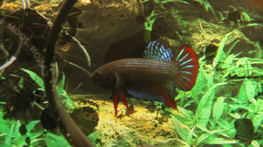 New Wild Type Species (Betta Siamorientalis)  IMG_0613