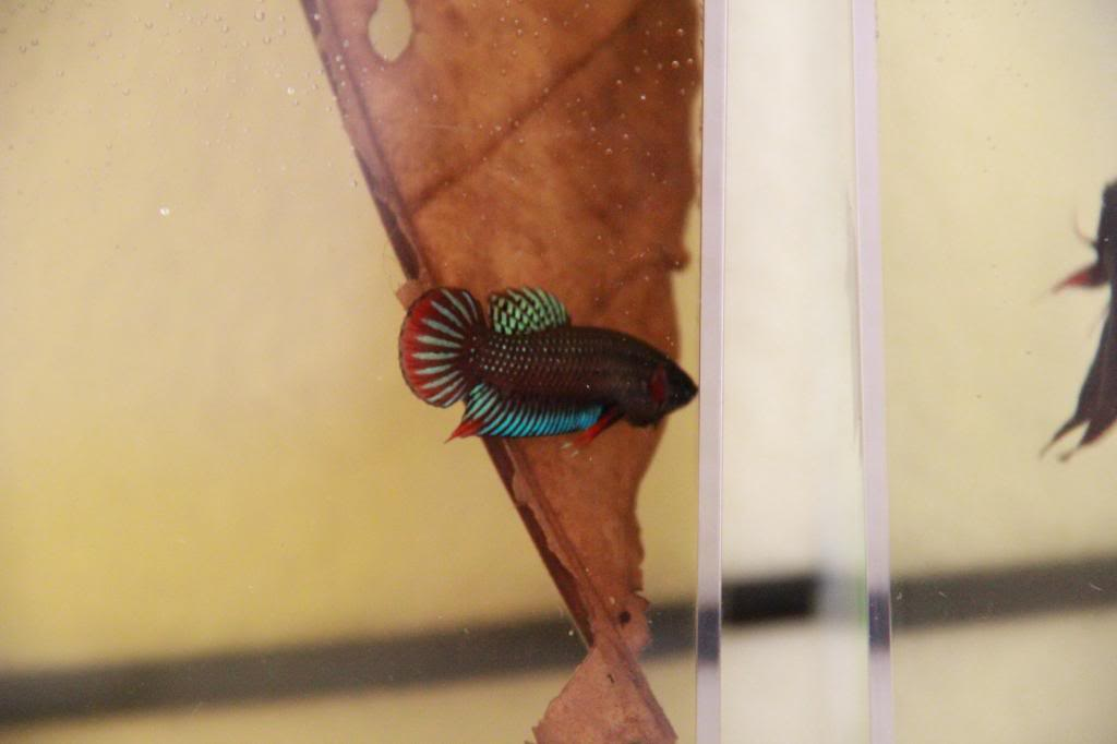 New Wild Type Species (Betta Siamorientalis)  IMG_0741