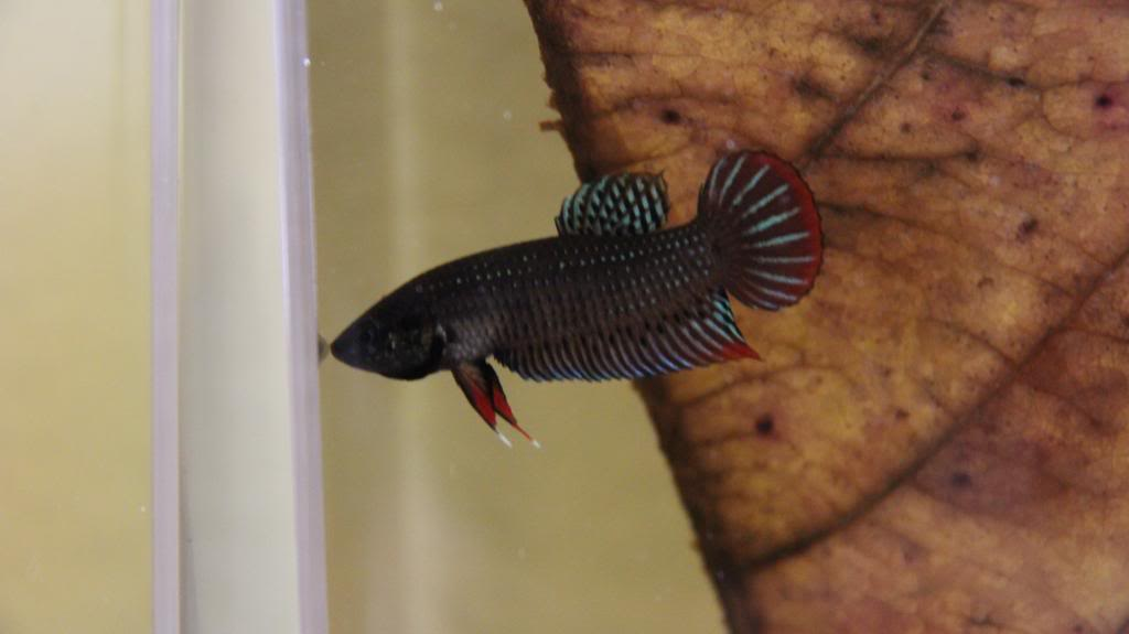 New Wild Type Species (Betta Siamorientalis)  IMG_0964