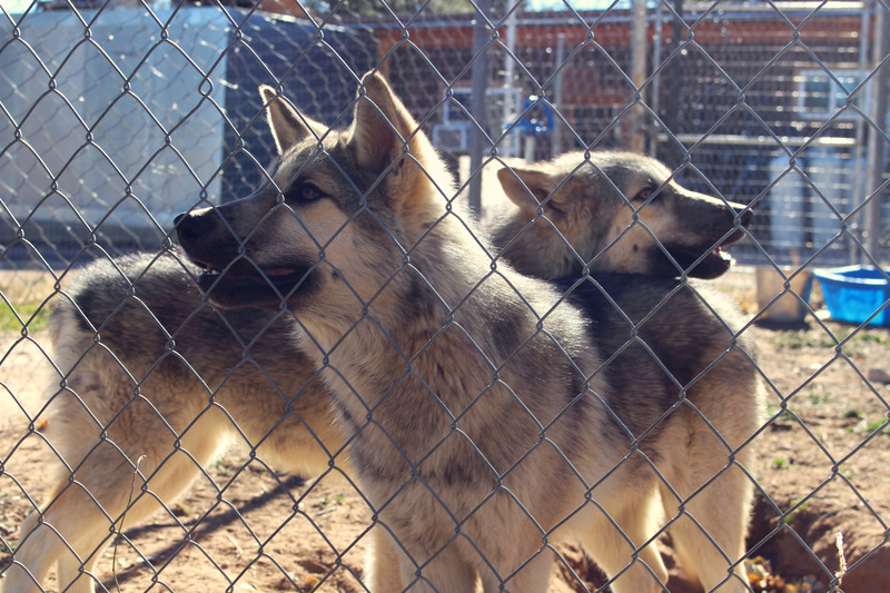 Wolf Sanctuary visit IMG_9954_zpsvfms3rwf