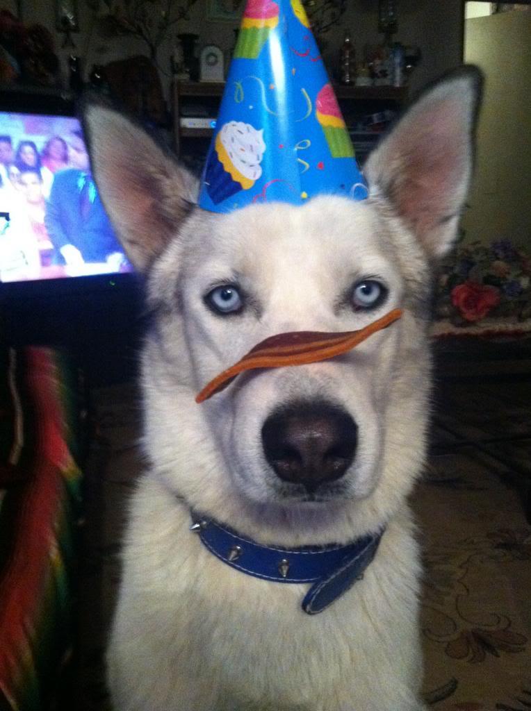 Silly husky game Lycusbirthday