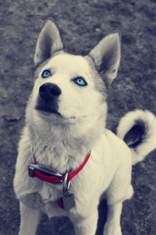Classic Photos Of Your Huskies Lycuscolorsplash