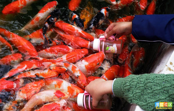 Koi feeding in China ATT00021