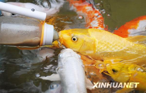 Koi feeding in China ATT00027
