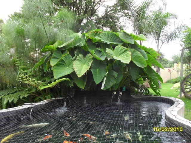 How Big Do Plants Grow in a Koi Pond SDC10968