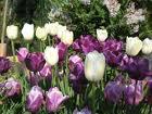 TULIPAN-LALA Tulips