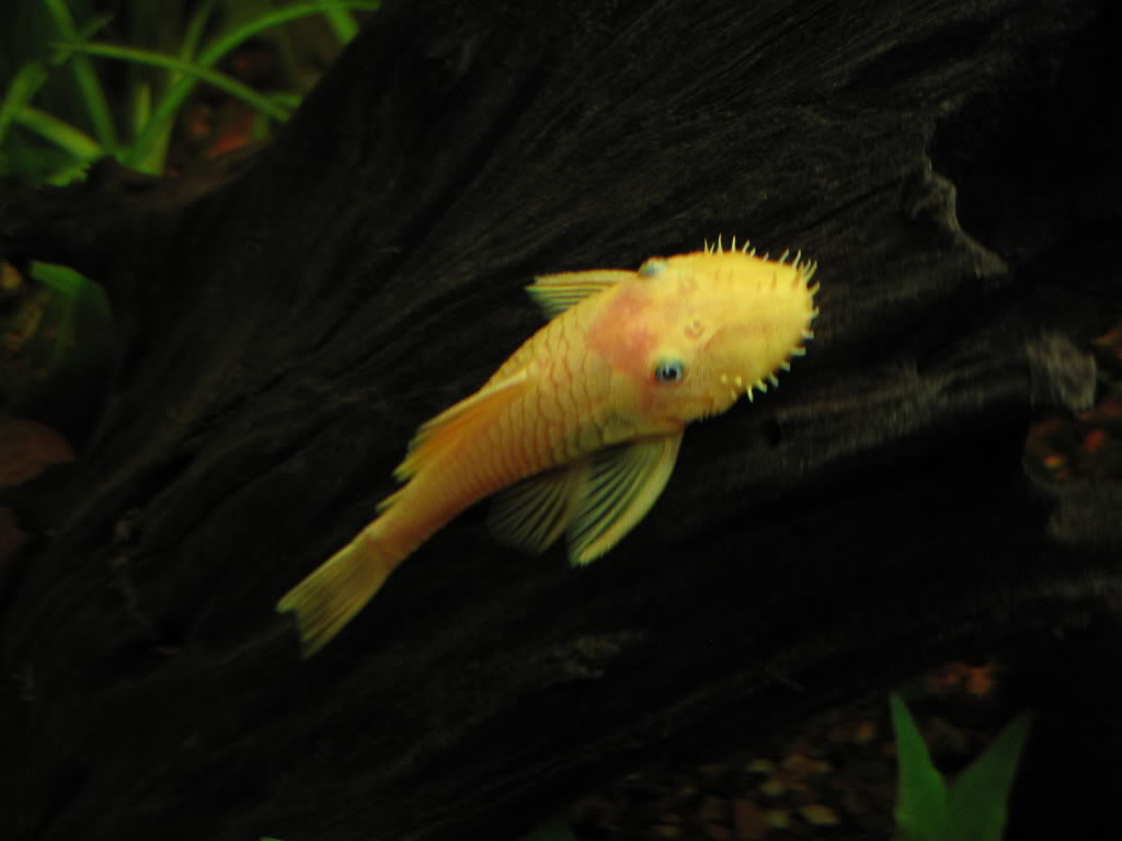 L144 Black eye Lemon Ancistrus - pics IMG_2899