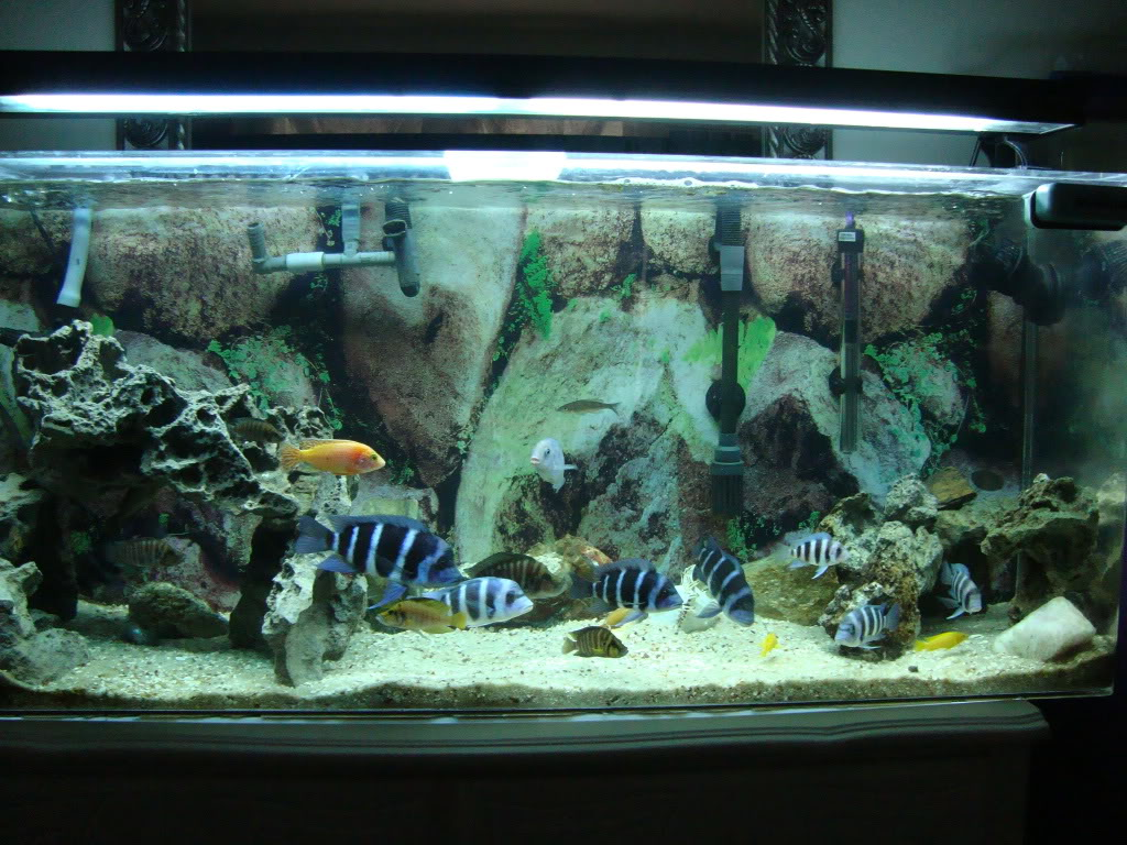 My Lovely tanganyikan cichlids with 1 peacock and blue dolphin DSC01196