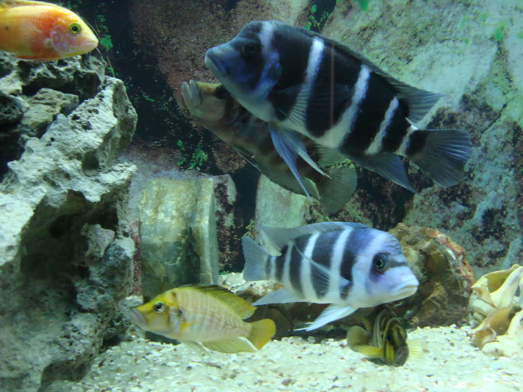 My Lovely tanganyikan cichlids with 1 peacock and blue dolphin DSC01198