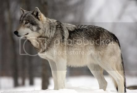 The Grey Wolf GreyWolf