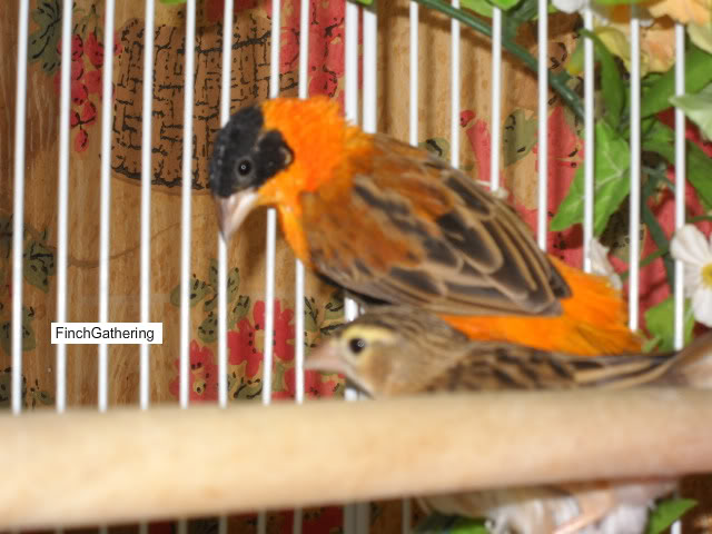 Pictures Of My Orange Weaver Going Through His Molt 50d8a179-1