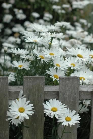 CVECE Fkowers-flower--Roses--Flowers------Scenery--Flowers--nature--STOPERKA_large