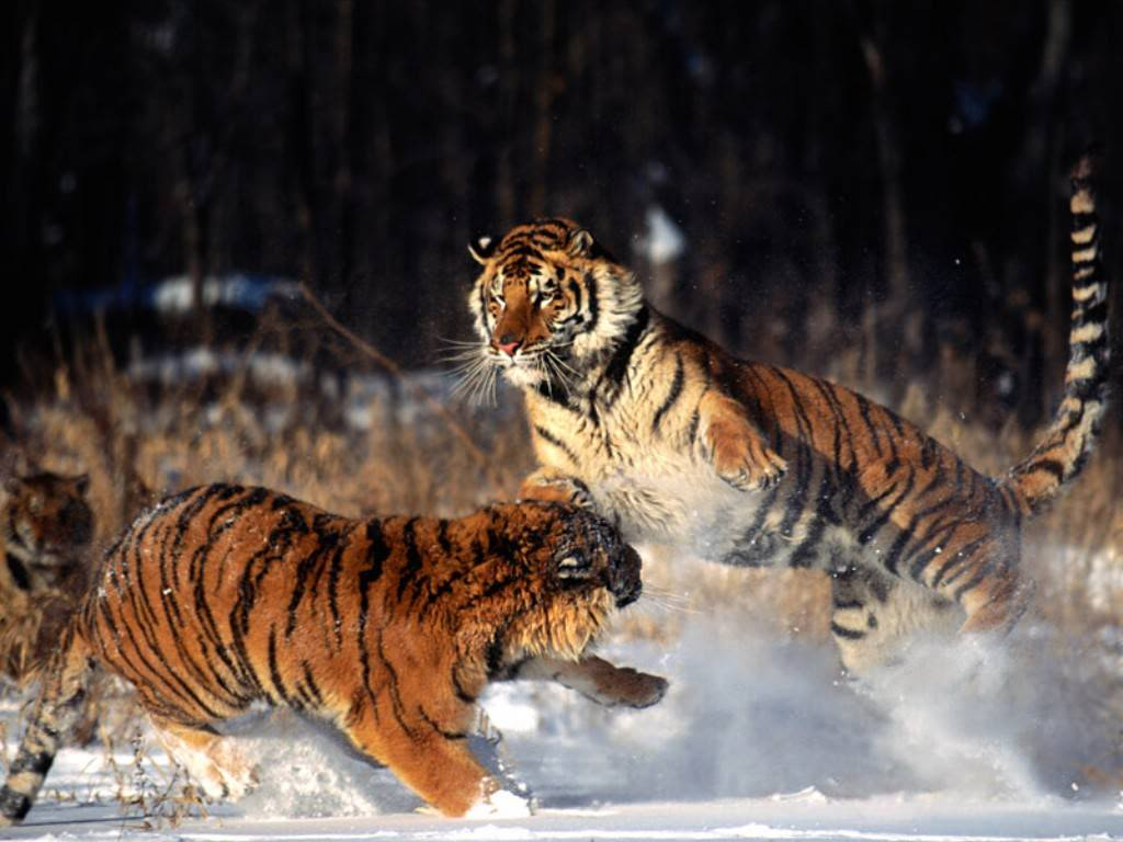 tigars photo: tigars playing/fighting fighting_tigers-1293.jpg
