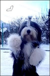 Bradati Škotski Ovčar [Bearded Collie] Flokica
