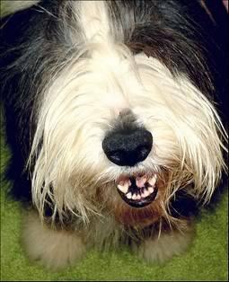 Bradati Škotski Ovčar [Bearded Collie] Seeya