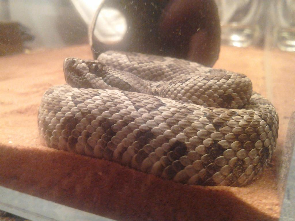 A couple of Crotalus Crotalus1