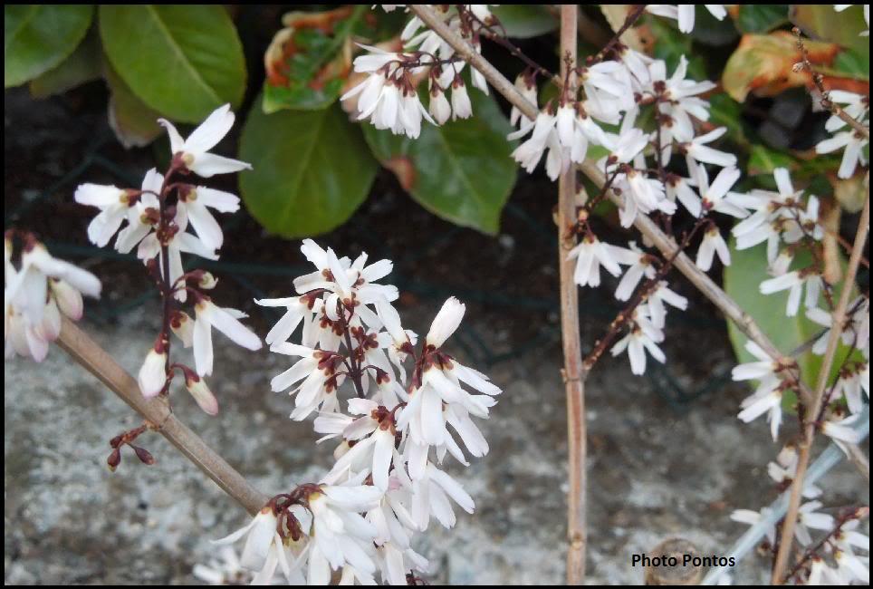 [Abeliophyllum distichum]- Alternativa alla forsizia. Abeliophyllumdistichum2