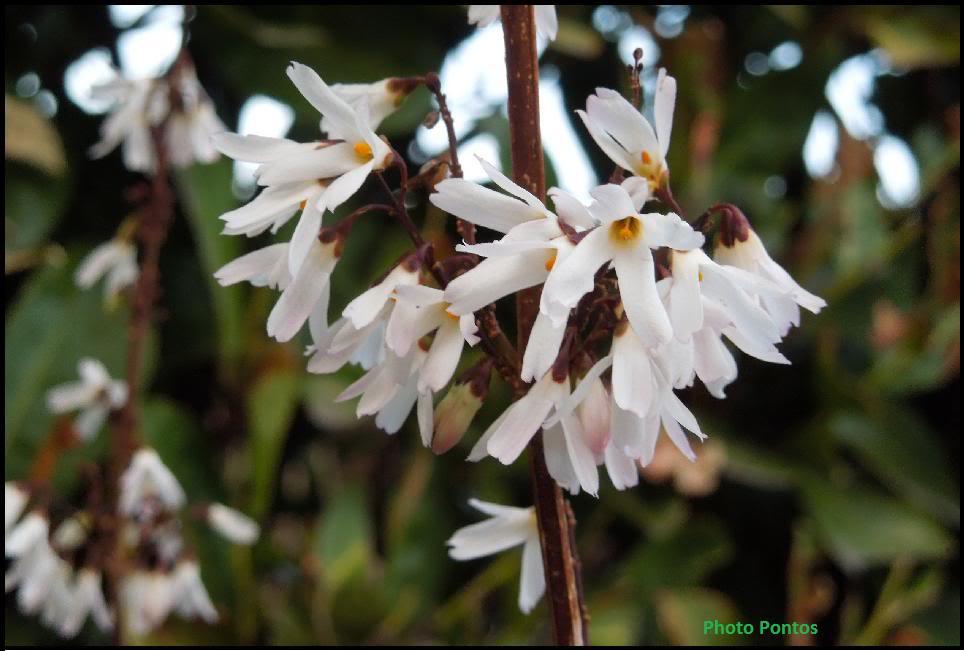 [Abeliophyllum distichum]- Alternativa alla forsizia. Abeliophyllumdistichum3
