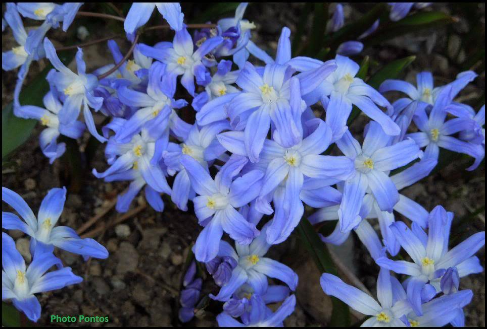i Nostri bulbi che fioriscono/ tempistiche sull'impianto.... Chionodoxaluciliae