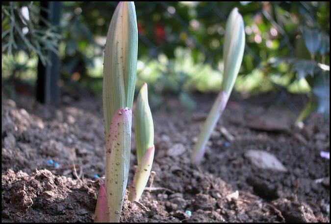 Poligonatum x hybridum 'Variegatum', piccola rarità. PolygonatumxhybridumVariegatum