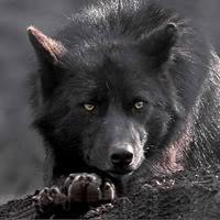 Miya, A young wolf ready to start / join a pack Knifeystillaliveandkicking