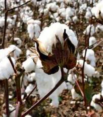 DEPOPULATION VIA LES OGM, LES PESTICIDES, LA DEFORESTATION ET LA POLLUTION DE NOTRE NOURRITURE ET DE NOS EAUX Coton-OGM