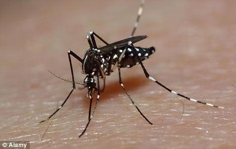 LES MODIFICATIONS GENETIQUES ET LEURS DANGERS  Geneticallymodifiedmosquito