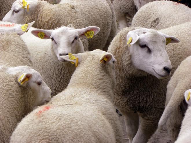 DEPOPULATION VIA LES OGM, LES PESTICIDES, LA DEFORESTATION ET LA POLLUTION DE NOTRE NOURRITURE ET DE NOS EAUX - Page 3 Moutons