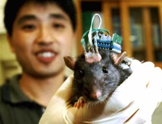 2011 : PUCES IMPLANTABLES, RFID, NANOTECHNOLOGIES, NEUROSCIENCES, N.B.I.C. ET CYBERNETIQUE ! - Page 3 Rat-brain-implant