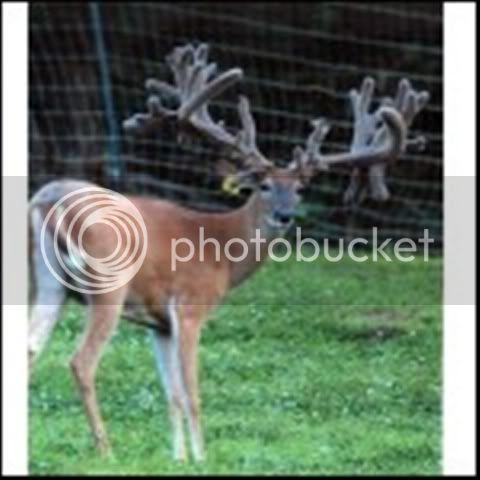 "HIGH PEDIGREE 300"" BC Deer genetics for sale SundownerPic"