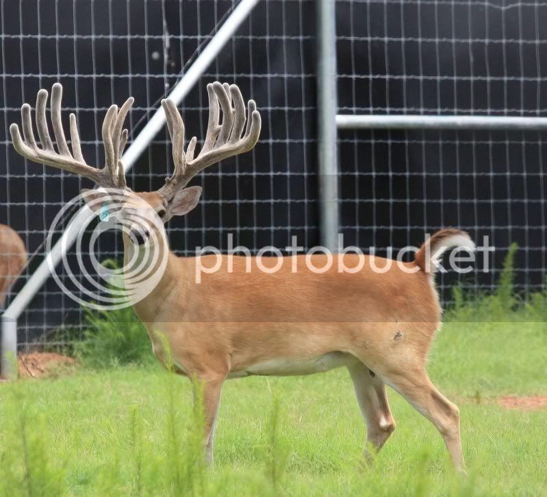"HIGH PEDIGREE 300"" BC Deer genetics for sale Venadocreek2wide"