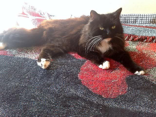 Theo, Norwegian Forest house cat, Nottingham RACRTHEOCATPRELOVED