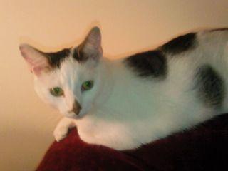Fudge & Bailey (cats) Dumfrie, Scotland Bailybooracr