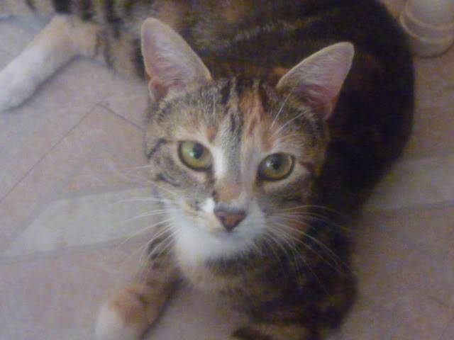 Bliss, 10 month tabby girl Colwick3