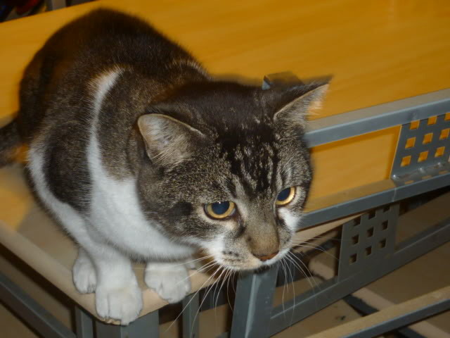 Nicko 4 yr old big male, Nottingham Nicko5