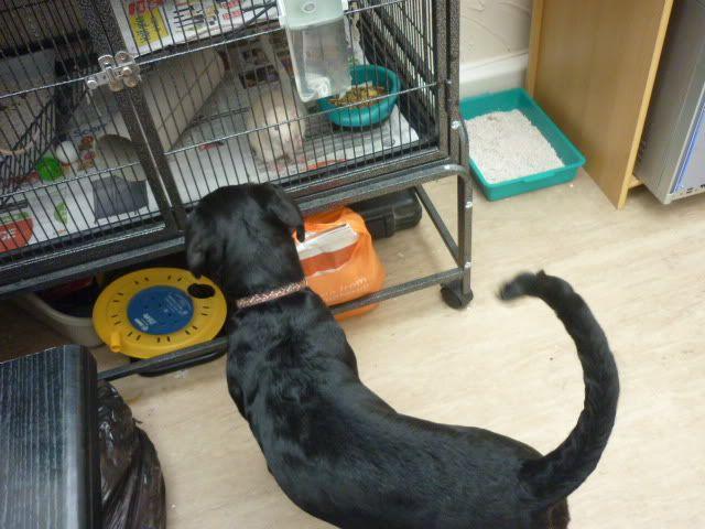 Jessica, 14 week EBT X puppy Jessb1