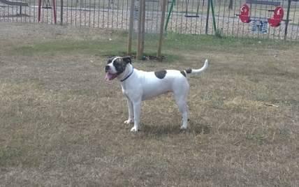 Missy, 19 month American Bulldog Racrmissy6