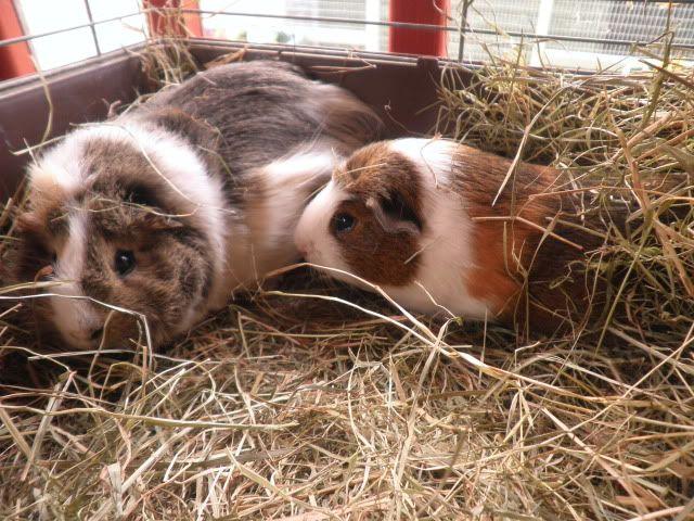 GUINEA PIGS, NOTTINGHAM Racrmiddlesexpigs1