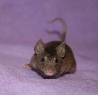 2 Doe Mice, Eastwood Nottingham Bambi1