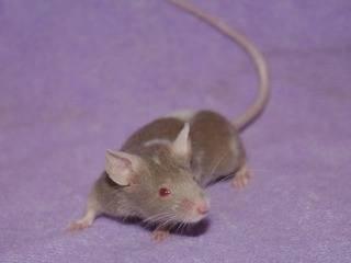 2 Doe Mice, Eastwood Nottingham Pinky1