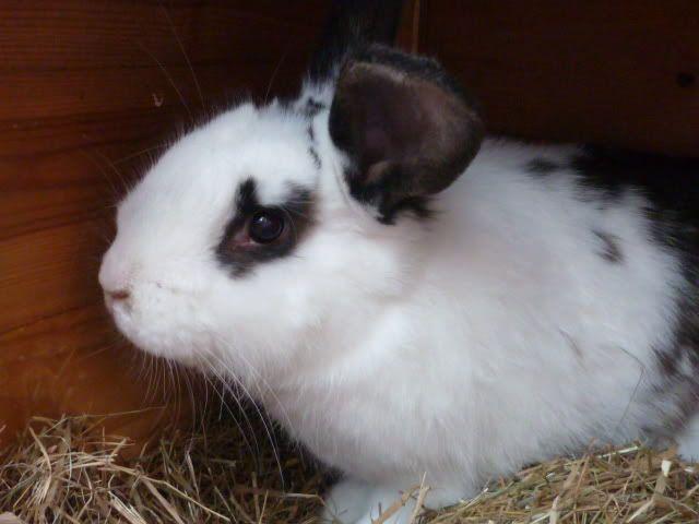 15 week Giant conti cross doe rabbit, Nottingham Riverenglishxgiant1