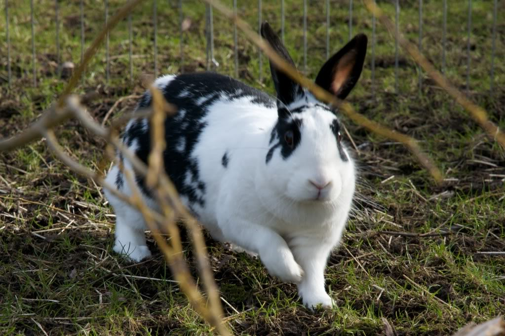 Lone Doe Rabbit, Walsall Snowball6-1