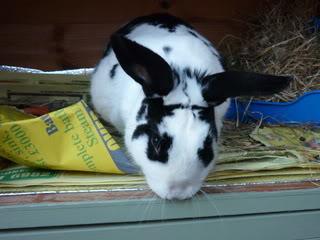 Lone Doe Rabbit, Walsall Snowball4