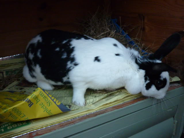 Lone Doe Rabbit, Walsall Snowball6