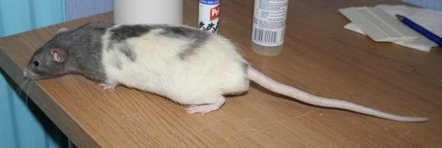 3 Buck Rats, Eastwood, Nottinghamshire Pop