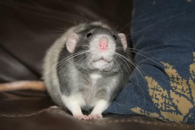 3 Buck Rats, Eastwood, Nottinghamshire Pop1